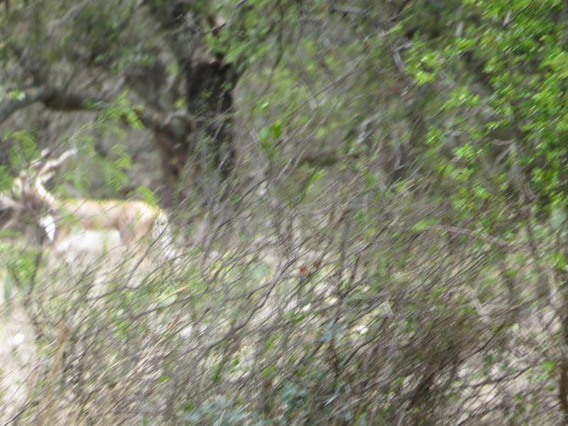 Rolling Live Oak Covered Property : Menard : Menard County : Texas