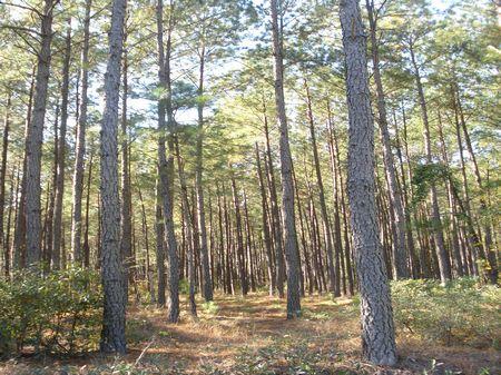 Pocotaligo Tract : Varnville : Hampton County : South Carolina