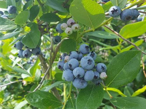 Small Acreage With Blueberry Crop : Bangor : Van Buren County : Michigan