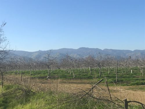Walnut Orchard, Northern : Brooks : Yolo County : California