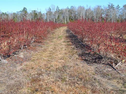 Mitcham Blueberry Farm : Ludowici : Long County : Georgia