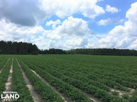 Wild Rose Farmland : Williston : Barnwell County : South Carolina