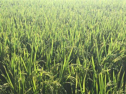 382Ac of Precision Leveled Farmlan : Jonesboro : Craighead County : Arkansas