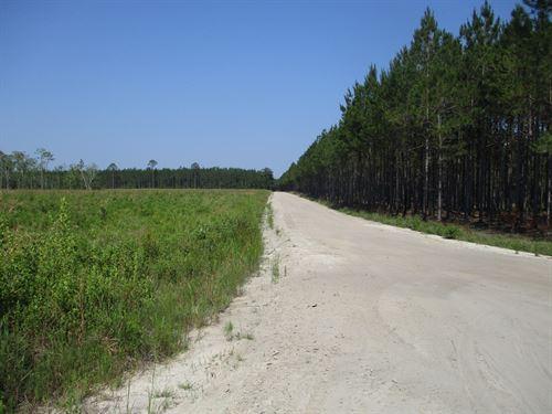 Planted Pines In Nicholls, Ga : Nicholls : Ware County : Georgia