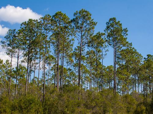 Planted Pine Investment Hunting : Monticello : Jefferson County : Florida