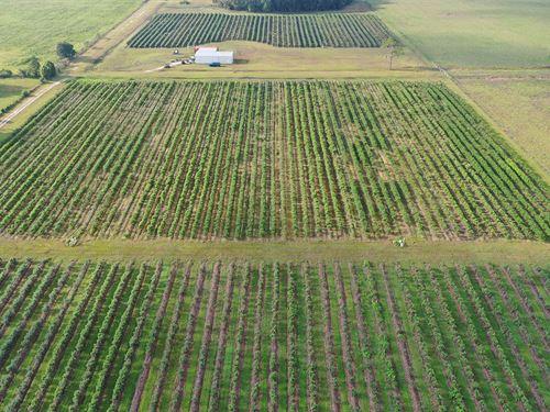 Pasco County Blueberry Farm : Dade City : Pasco County : Florida