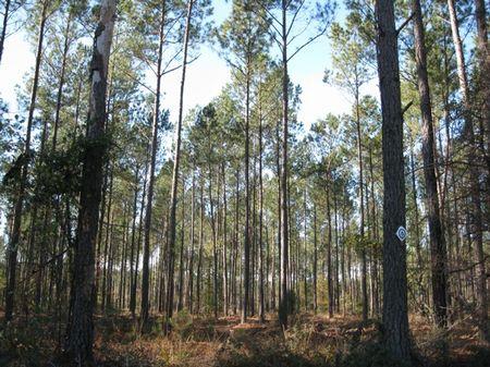 Pocotaligo Tract 450 : Varnville : Hampton County : South Carolina