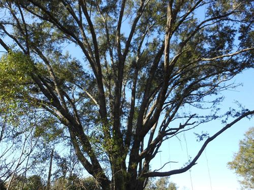 Planted Pines Cut so Land Mostly : O'brien : Suwannee County : Florida