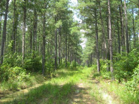275 Acres  Timberland : Emporia : Greensville County : Virginia