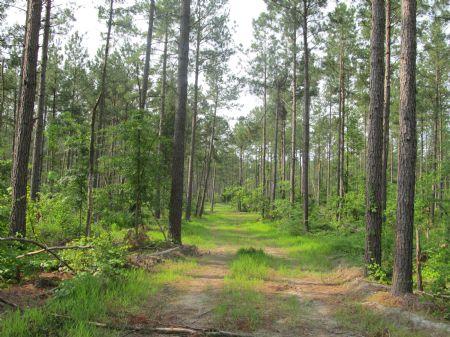 206 Acres Timberland : Emporia : Greensville County : Virginia