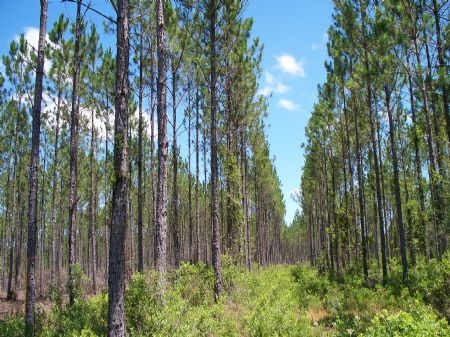 156 Acres Near Hilliard : Hilliard : Nassau County : Florida