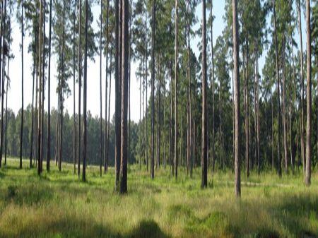 Oakland Timber Tract : Ruffin : Colleton County : South Carolina