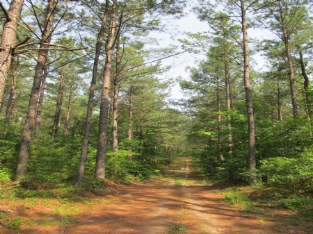 290 Acres Timberland : Emporia : Greensville County : Virginia