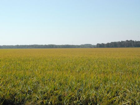793+/- Acre Rice Farm : Clarendon : Monroe County : Arkansas