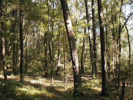 Prime Hunting and Timber in Florida : Jasper : Hamilton County : Florida