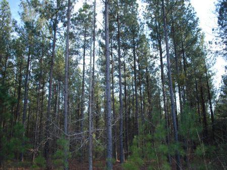 Timber / Hunting On Tyger River : Union : Union County : South Carolina