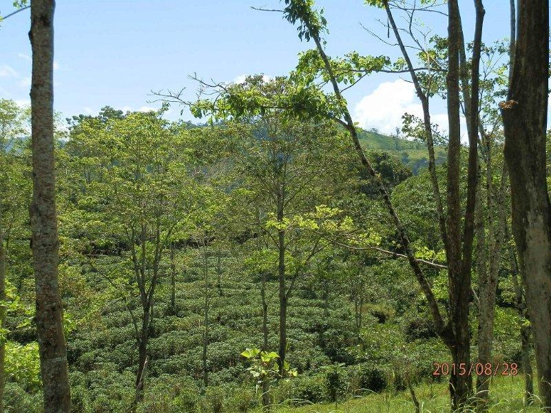 621 Ac Coffee Finca - Reduced Price : La Suiza De Turrialba : Costa Rica