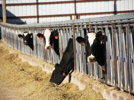 Sagebrush Dairy Herd Dispersal : Fort Morgan : Morgan County : Colorado