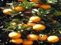 Citrus Grove In Development Area : Haines City : Polk County : Florida