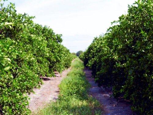 Fort Green Road Grove : Bradley : Polk County : Florida