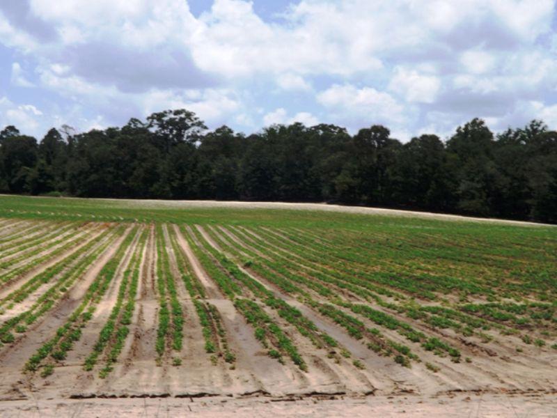 Buck Creek Farm A : Statesboro : Bulloch County : Georgia