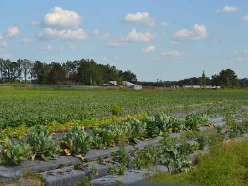 Johnson Road Strawberry Farm : Plant City : Hillsborough County : Florida