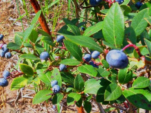 Whitetails & Blueberries : Bangor : Van Buren County : Michigan