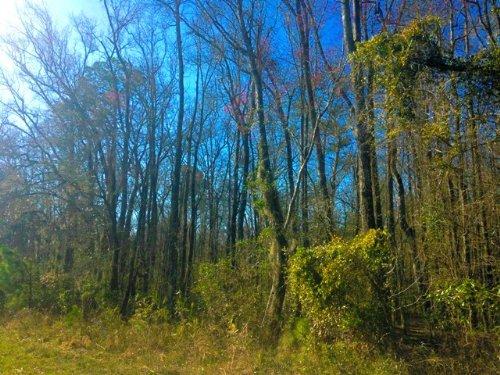 Aaron Woods Tract : Millen : Jenkins County : Georgia