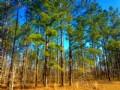 Savannah Pines