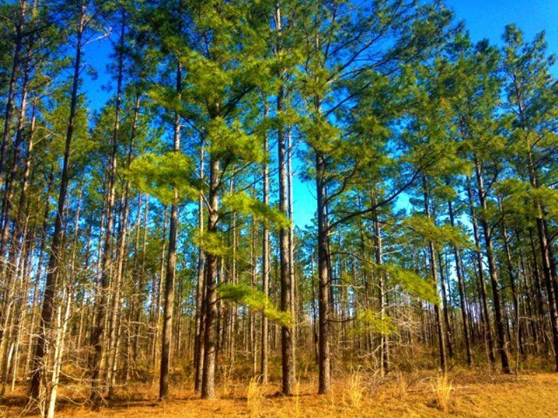 Savannah Pines : Millen : Jenkins County : Georgia