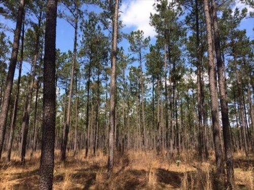 Ogeechee River Timber Tract : Louisville : Jefferson County : Georgia