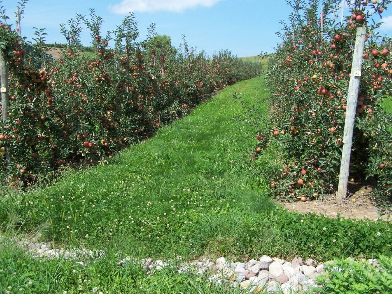 Apple Orchard In The Finger Lakes : Wolcott : Wayne County : New York