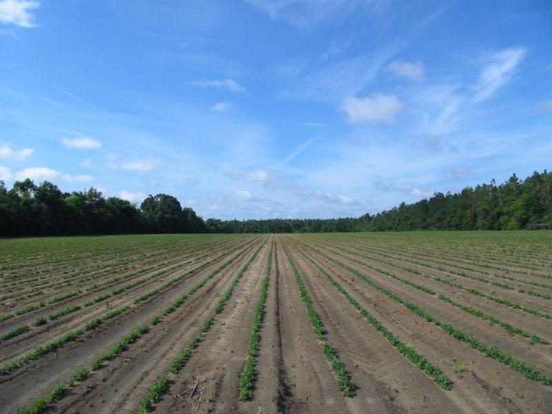 56 Acres : Sardis : Burke County : Georgia