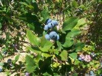 25 Acre Blueberry Farm