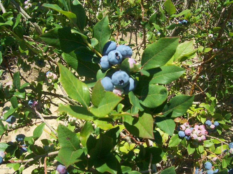 25 Acre Blueberry Farm : Benton Harbor : Berrien County : Michigan