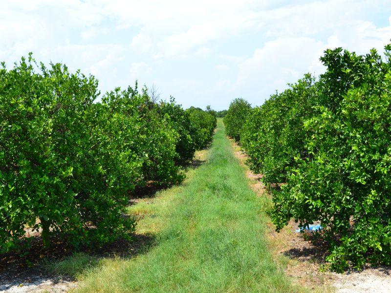 Lake Lizzie Grove : Bartow : Polk County : Florida
