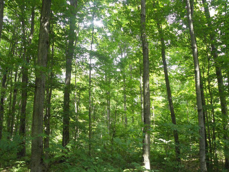 Ellenburg Forest : Ellenburg : Clinton County : New York