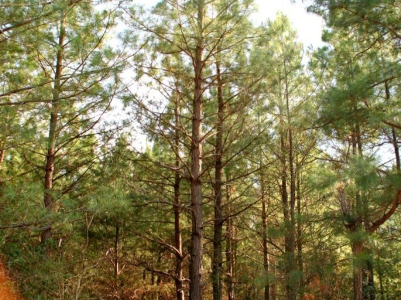 14.1 Wooded Acres W/ Previous Perk : King William : King William County : Virginia
