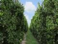177± Acre Producing Citrus Grove
