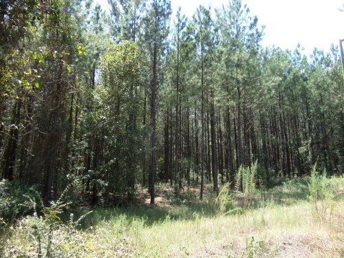 20 Acres Timber : Baxley : Appling County : Georgia