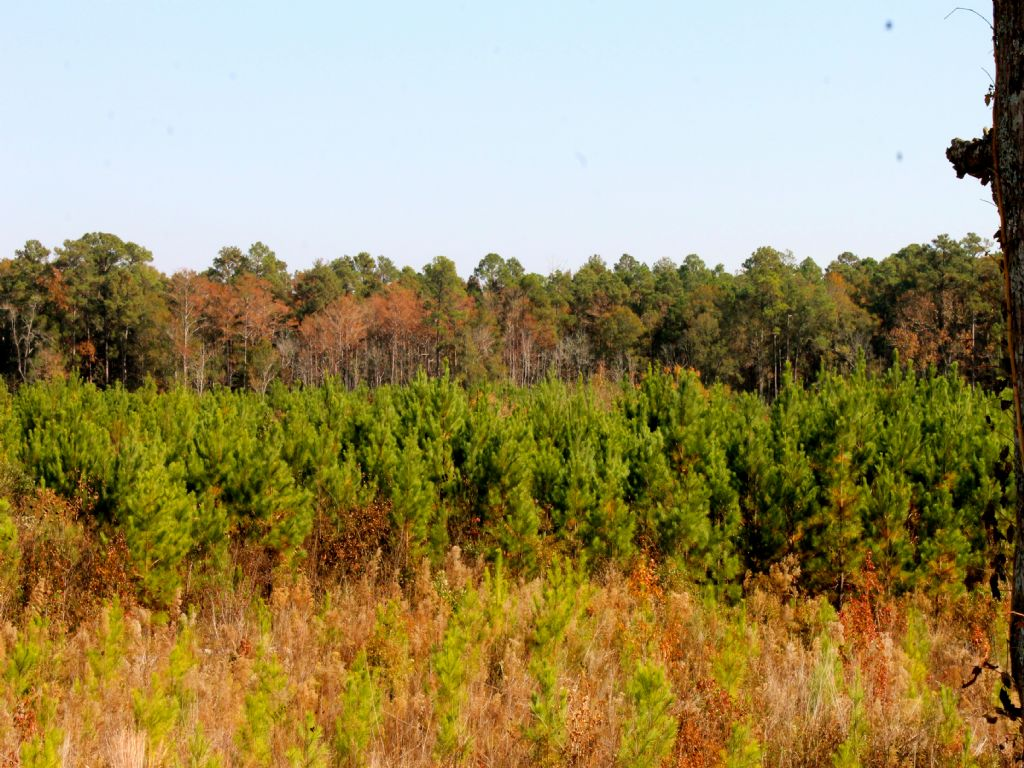 320 Acre Hunting / Timberland Tract : Abbeville : Wilcox County : Georgia