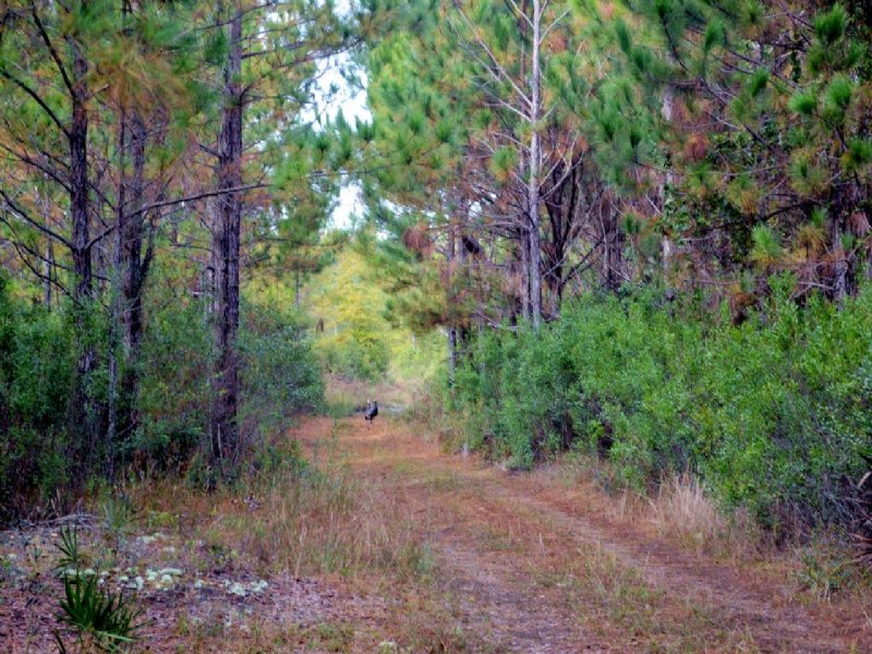 Levy County Hunting And Timber : Bronson : Levy County : Florida