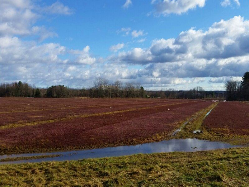 Cranberry Farm In Full Production : Williamstown : Oswego County : New York