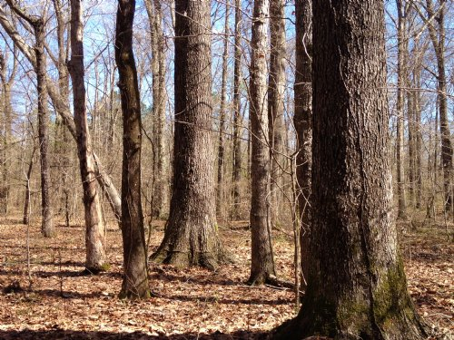 200 Acres Mature Pines & Hardwoods : Brandon : Rankin County : Mississippi