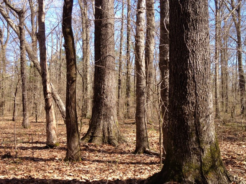 200 Acres Mature Pines & Hardwoods : Brandon : Rankin County : Mississippi