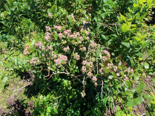 62 Acres, 32 Acres Of Blueberries : Bangor : Van Buren County : Michigan