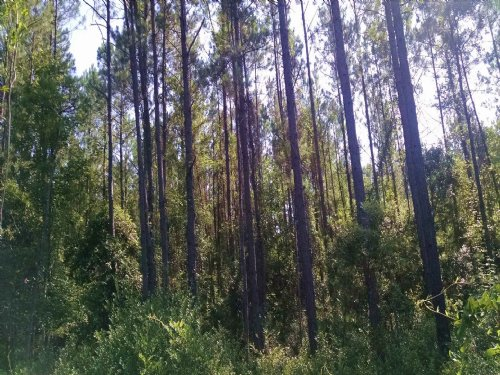 123 Acre Timber Property : Woodbine : Camden County : Georgia